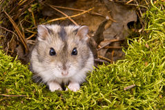 Little dwarf hamster Royalty Free Stock Photos