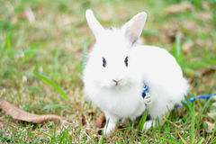 The little dwarf rabbit. Bunny dwarf playing on the lawn on a sunny winter day Royalty Free Stock Images
