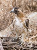 Little eagle Royalty Free Stock Image