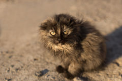 Little earless gray cat. Small fluffy gray and black cat with little ears sitting on the ground, looking at the camera. Sunlight at morning, close-up, horizontal Stock Image