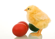 Little easter chicken with dyed eggs Royalty Free Stock Image