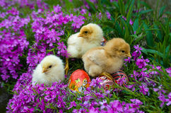 Little Easter chicks on grass Royalty Free Stock Images