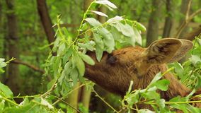 The little eater is eating green branches and leaves. Close-up stock video footage