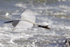 Little egret Stock Image