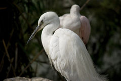 Little egret Royalty Free Stock Photos