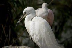 Little egret. White bird called littel egret Royalty Free Stock Photos