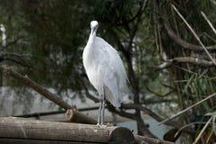 Little egret. White bird called littel egret Stock Photography