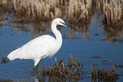 Little Egret Stock Images