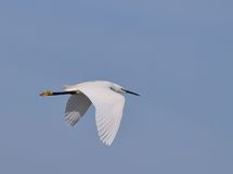 Little egret. Royalty Free Stock Photos