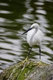 Little Egret Stock Photography