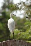 Little egret. White heron bird Royalty Free Stock Images