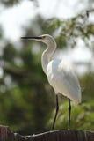 Little egret. White heron bird Royalty Free Stock Photos