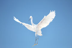 Little egret. White heron bird Stock Photos