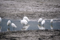 Little Egret Royalty Free Stock Photography