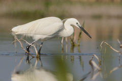 Free Little Egret Royalty Free Stock Images - 31191919