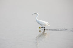 Little egret. (Egretta Garzetta)  walking in water Stock Photos
