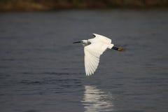 Little Egret. (Egretta garzetta) in the Okavango Delta, Botswana Royalty Free Stock Photography