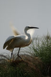 Little Egret Royalty Free Stock Image
