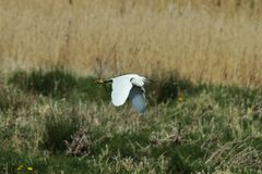 Little egret across the sedge beds Stock Image