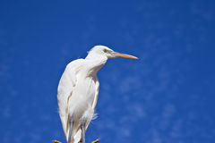 Little Egret against blue sky and white cloud Stock Photo