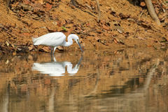 Little egret aquatic heron bird with its reflection walking on w. Ater pond looking for fish in Thailand, Asia Royalty Free Stock Photo