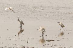 Little egret aquatic heron birds walking on tropical coastal swa Royalty Free Stock Images