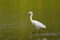 Little egret aquatic heron with black legs, yellow feet walking Royalty Free Stock Photography