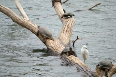 Little Egret and aquatic turtles Royalty Free Stock Photos