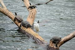 Little Egret and aquatic turtles Royalty Free Stock Images