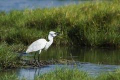 Little egret in Arugam bay lagoon, Sri Lanka Stock Photography