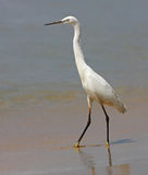 Little Egret on a beach II Royalty Free Stock Photo