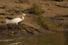 Little Egret Bird Royalty Free Stock Images