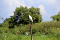Little Egret bird perching on the top of dried bamboo with green tree and blue sky. stock photo