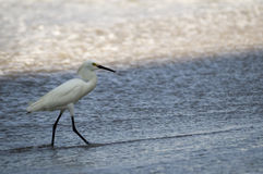 Little Egret Bird WAding at the Shore Royalty Free Stock Photography
