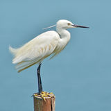 Little Egret bird Royalty Free Stock Image