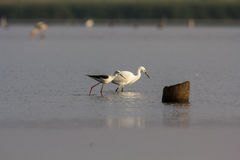 Little Egret & Black winged Stilt Royalty Free Stock Image