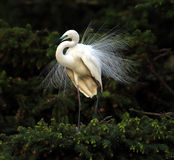 Little Egret Royalty Free Stock Images