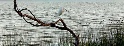 Little Egret  on Branch Royalty Free Stock Photography