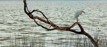Little Egret  on Branch Stock Photos