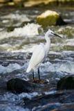 Little Egret - In Breeding Plumage. (Egretta garzetta Stock Images