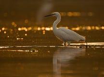 Little Egret Casmerodius albus Stock Photography