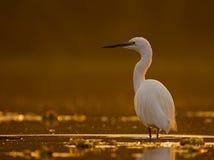 Little Egret Casmerodius albus Stock Images