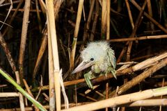 little egret chick ( Egretta garzetta ) Royalty Free Stock Photography