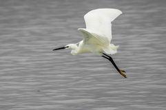 Little Egret close to the water Royalty Free Stock Photography