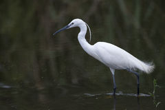 Little Egret in dam Stock Image