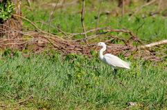 Little egret in natural reserve of the Danube Delta - landmark attraction in Romania Royalty Free Stock Image