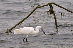 Little egret eating a fish Stock Image