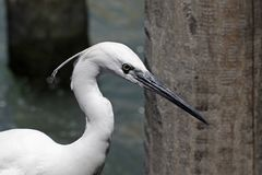 Little Egret (Egretta garzetta) Royalty Free Stock Images