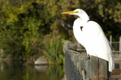 The Little Egret (Egretta garzetta) Royalty Free Stock Photography