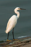 Little Egret (Egretta garzetta) Royalty Free Stock Image